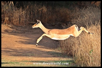 Impala ewe at full speed