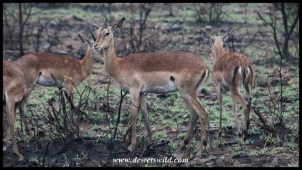 Wet Impalas