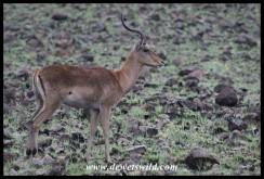 Impala ram on Kwalata road