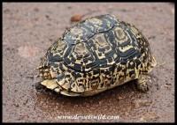 Shy leopard tortoise...