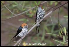 "Lesser striped swallows at the ""Wimbledon"" bridge"