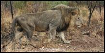 Beautiful Pilanesberg lion (photo by Joubert)