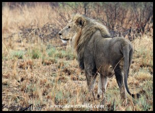 Beautiful Pilanesberg lion