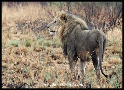 Beautiful Pilanesberg lion