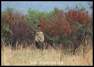 Beautiful Pilanesberg lion marking his turf