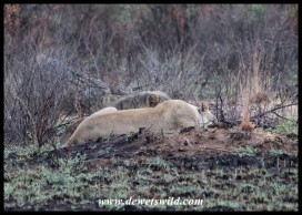 Lazy lions on Hippo Loop