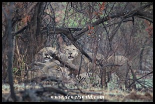 Lions killing a buffalo on Sefara Drive