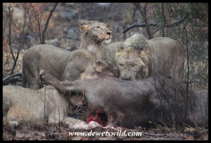 Lions preying on buffalo in the Pilanesberg National Park
