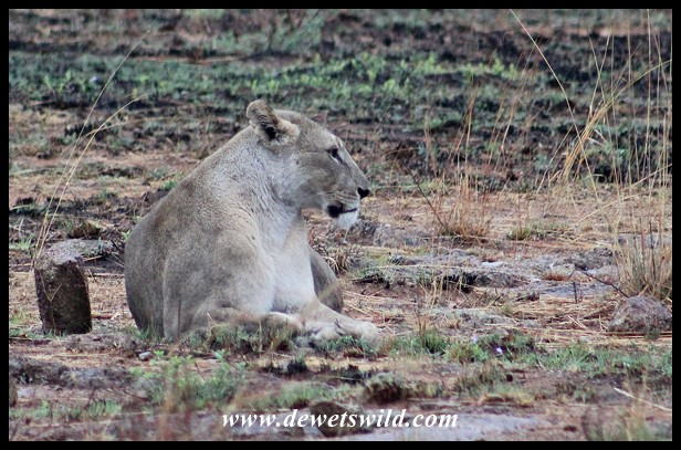 Lioness along Mankwe Way