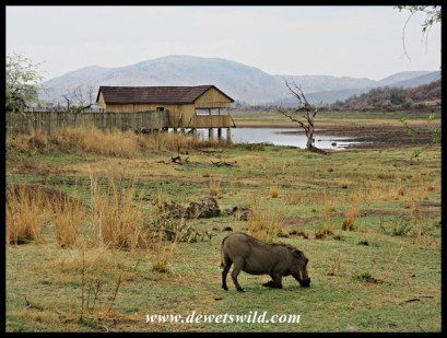 Warthog and Mankwe Hide