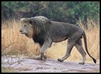 Mating lions at Mankwe Hide