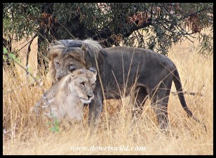 Mating lions at Mankwe Hide