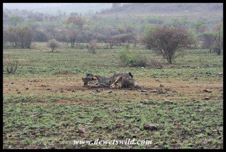 Mavuso's carcass on 06/10/2020 (photo by Joubert)