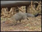 Slender Mongoose at Rathlogo Hide