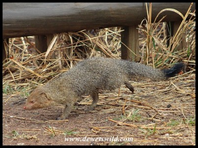Slender Mongoose at Rathlogo Hide