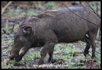 Warthog on Tshwene Drive