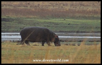 Hippo making the most of the overcast conditions