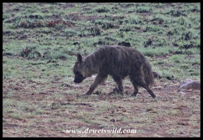 Brown Hyena at Mavuso's carcass