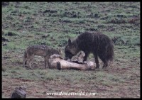 Brown Hyena nad Black-backed Jackal at Mavuso's carcass