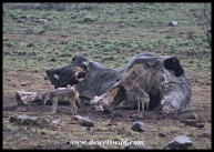 Black-backed Jackals at Mavuso's carcass