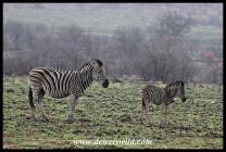 Plains zebra and foal