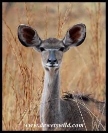Young Kudu heifer
