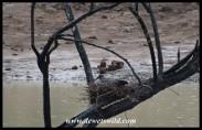 Hadeda nesting in a dead tree in the middle of Tilodi Dam