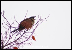 Burchell's Coucal seemingly trying to catch raindrops
