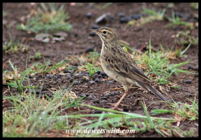 African Pipit just outside Mankwe Hide