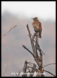 Rufous-naped Lark on a prominent perch