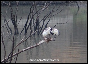 Sacred Ibis on a tiny nest at Kubu Dam