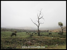 Wildebeest and zebras under heavy skies
