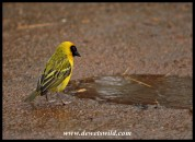 Southern Masked Weaver enjoying a muddy puddle at Mankwe Dam