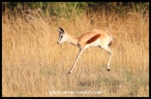 Pronking Springbok