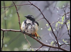 A very wet White-throated Robin Chat