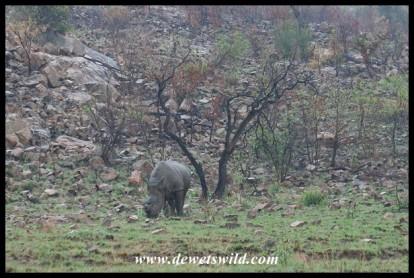 White Rhinoceros in Pilanesberg National Park (Joubert's photo)
