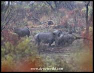 White Rhinos in Pilanesberg National Park