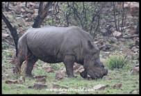 White Rhinoceros in Pilanesberg National Park