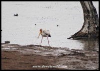 Yellow-billed Stork at Mankwe Dam