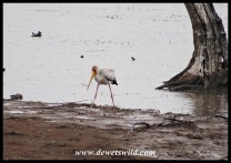Yellow-billed Stork at Mankwe Dam