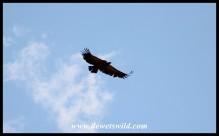 Soaring Cape Vulture
