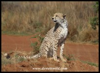 Cheetah at the Rhino & Lion Nature Reserve