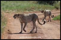 Cheetahs at the Rhino & Lion Nature Reserve