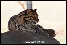 Clouded Leopard at the Wildlife Centre