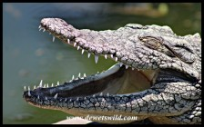 Nile Crocodile at the Wildlife Centre
