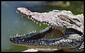 Nile Crocodile at the Wildlife Centre