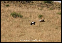 Egyptian Geese on the wing