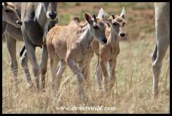 Eland calves