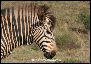 Hartmann's Mountain Zebra (photo by Joubert)