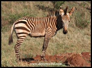 Hartmann's Mountain Zebra foal (photo by Joubert)